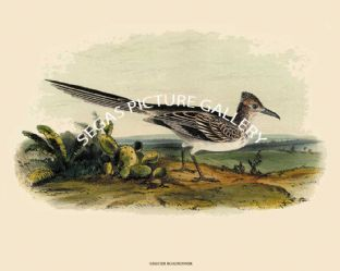 Roadrunner, Greater or Ground Cuckoo or Prairie Cock by John Cassin